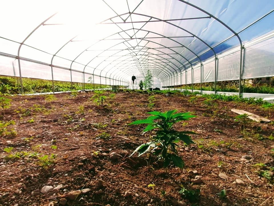 Piccole piante di canapa in serra
